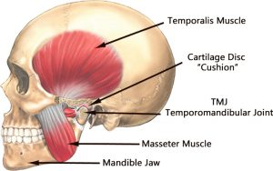 Anatomical illustration of the TMJ and its involved joints